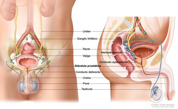 funcionamiento de la prostata